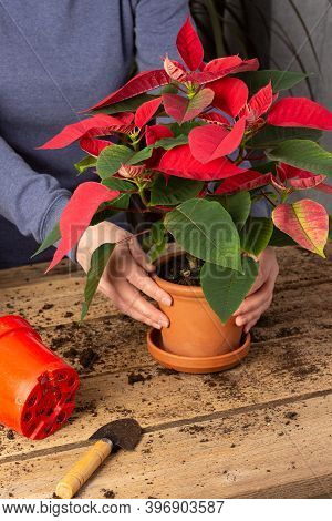 Process Of Transplanting A Home Flower Poinsettia Into A Clay Pot, Christmas Flower On A Wooden Tabl