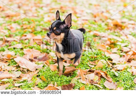 Dog Chihuahua Walks On The Street. Chihuahua Dog For A Walk. Chihuahua Black, Brown And White.puppy