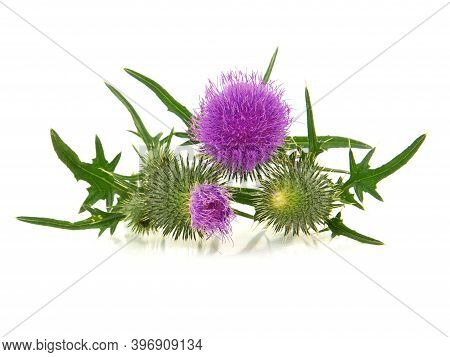 Spear Thistle Flower Isolated On White Background