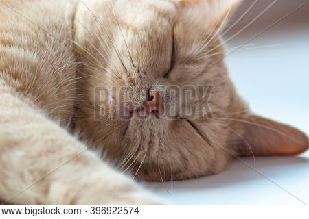 The Red Cat Is Sleeping Sweetly. A Large Portrait Of A Cat