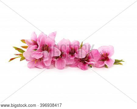 Pink Peach Blossom Flowers In Spring, Floral Design Isolated On White