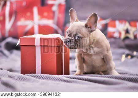Cute French Bulldog Dog Puppy Nibbling At Ribbon Of Red Christmas Gift Box Surrounded By Seasonal De