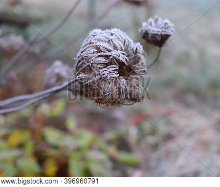 Frozen Daucus Carota, Whose Common Names Include Wild Carrot, Birds Nest, Bishops Lace, And Queen An