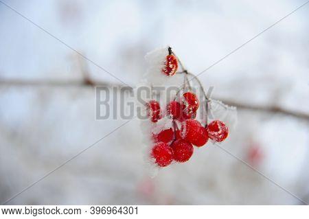 Ripe Red Viburnum Or Viburnum Berries In Winter Covered With Snow