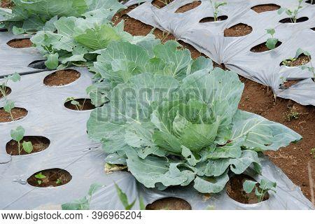 Outdoor Vegetable Plant In The Field Cabbage (brassica Oleracea Or B. Oleracea Member Of The Genus B