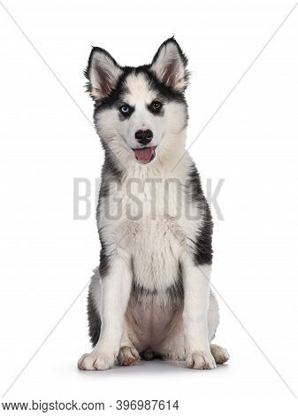 Adorable Yakutian Laika Dog Pup, Odd Eyed And Cute Black Masked. Sitting Up Facing Front. Looking To