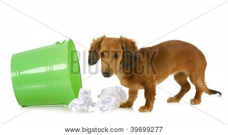 bad dog - miniature dachshund playing in the garbage isolated on white background