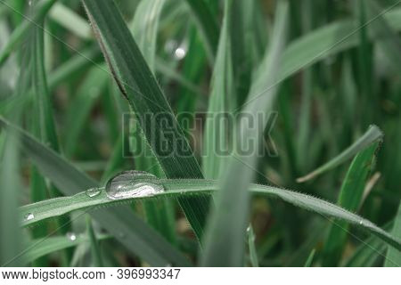 Morning Dew On The Green Grass. Beautiful Dew Close-up. Dew In Large Drops.