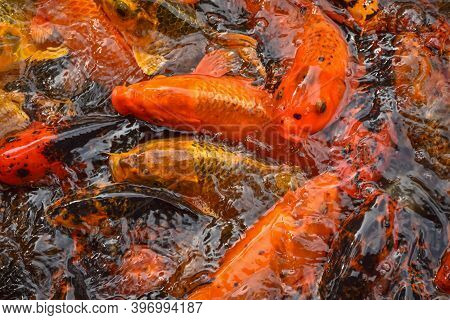 Colorful And Multicolor Fancy Carp Fish Swimming In The Pond, Fancy Carp Fish Or Koi Fish Background