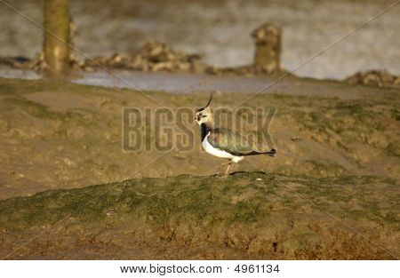 Lapwing In A Creek