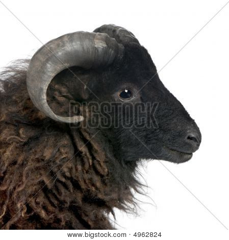Black Shhep - Ouessant Ram (4 Years Old)