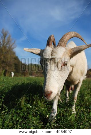 horned goat on the green meadow staring at the camera poster