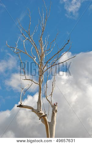 Dead gumtree in Australia