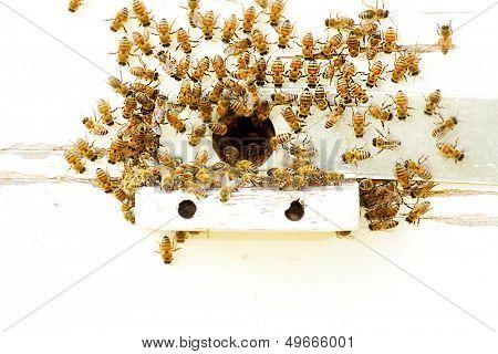 Bees at a beehive