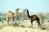 Camels eat a prickle in desert. India. Winter 2009. poster
