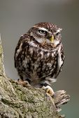A Little Owl perched on a branch poster