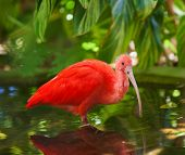Carribean Scarlet Ibis standing in shallow pool poster