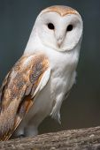A Barn Owl perched on a branch poster