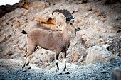 Wild ibex at Ramon crater in the Negev Desert in Israel poster