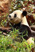 Endangered animal Giant Panda Feeding in china poster