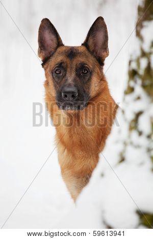 Large Shepherd Looks Out Of A Tree Trunk