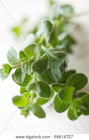 closeup of fresh oregano sprig