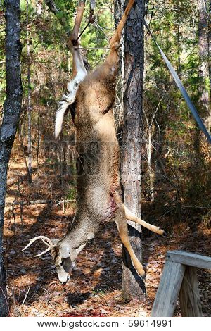 Deer Hanging For Processing Vertical