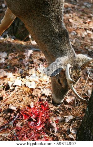 Deer Hanging Up close