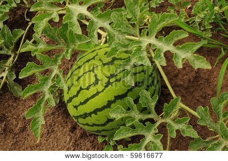 Watermelon, citrullus lanatus