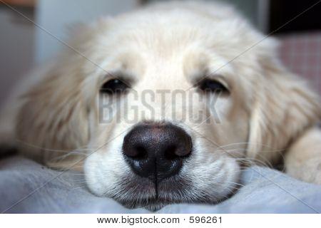 Labrador Baby Sleeping