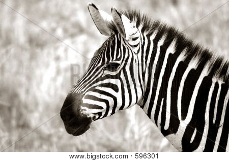 Erwachsene Zebra