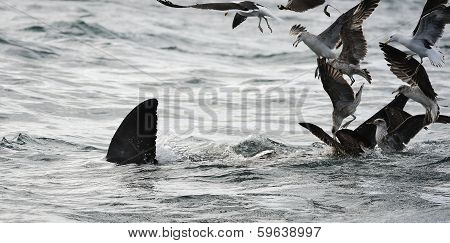 Back Fin Of A White Shark  And Seagulls