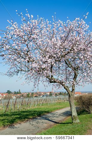 Almond Blossom in Palatinate with View to Edenkoben, Germany poster