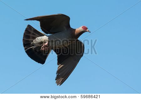 A Speckled Pigeon (Columba Guinea) in flight poster