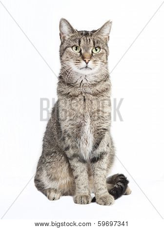 Tabby Cat Looking At The Camera