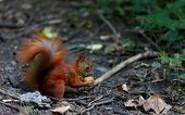 Red squirrel eat walnut in autumn forest poster