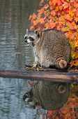 Raccoon (Procyon lotor) Cries While on Log in Water - captive animal poster
