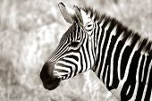 An adult zebra in Tarangire National Park poster