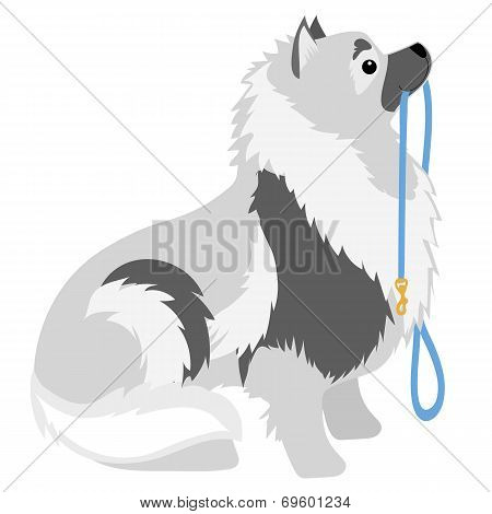 A Keeshond sitting with a leash in its mouth waiting to go for a walk poster
