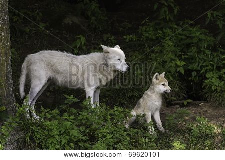 Arctic wolf and cub