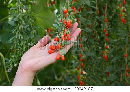 Agriculture, Goji Berry Fruit