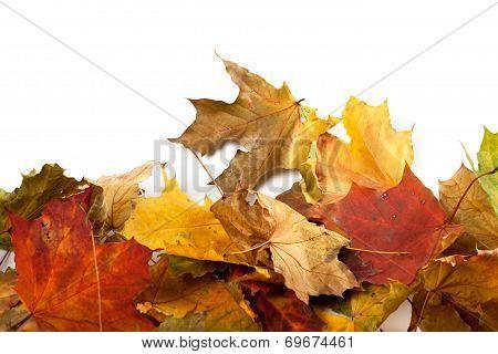 Autumn Maple-leaf Background