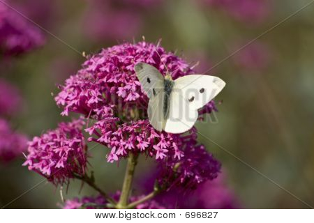 Butterfly On Valerian
