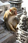 Wild Rhesus Monkey at Swayambhu, Nepal. The temple is also know as the Monkey Temple. poster