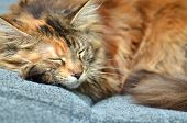 sweet young maine coon cat while sleeping poster