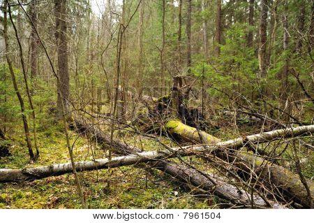Wind-fallen Trees
