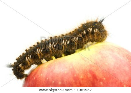 Big hairy caterpillar on top of a red apple poster