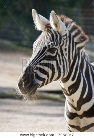 Grant`s zebra
