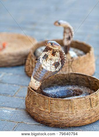 Cobras In Baskets