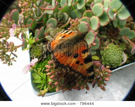Handsome  Butterfly